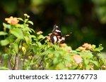 beautiful butterfly perch on...   Shutterstock . vector #1212776773