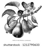 branch of pear botanical... | Shutterstock . vector #1212790633