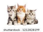 maine coon kittens  8 weeks old ...   Shutterstock . vector #1212828199