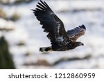 juvenile white tailed eagle in...   Shutterstock . vector #1212860959