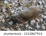 dead country mouse on gravel... | Shutterstock . vector #1212867913