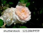 hybrid tea white and pink roses.... | Shutterstock . vector #1212869959