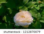 tea hybrid white pink rose. | Shutterstock . vector #1212870079