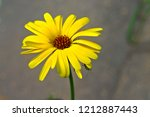 the flowers of rudbeckia are... | Shutterstock . vector #1212887443
