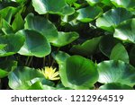 yellow water lily   nymphaea  ... | Shutterstock . vector #1212964519