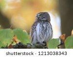 eurasian pygmy owl swabian jura   Shutterstock . vector #1213038343