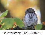 eurasian pygmy owl swabian jura   Shutterstock . vector #1213038346