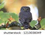 eurasian pygmy owl swabian jura   Shutterstock . vector #1213038349