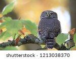 eurasian pygmy owl swabian jura   Shutterstock . vector #1213038370