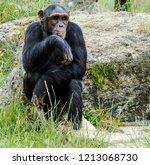 contemplating  old ape | Shutterstock . vector #1213068730