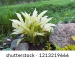 hosta white feather young plant ... | Shutterstock . vector #1213219666