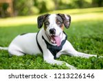 a hound mixed breed dog lying...   Shutterstock . vector #1213226146
