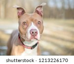 a red and white pit bull...   Shutterstock . vector #1213226170