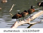 white faced whistling duck ... | Shutterstock . vector #1213245649
