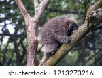 Porcupine Out On A Limb