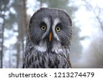 Portrait Great Gey Owl Looking...