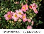 bush cinquefoil  potentilla...   Shutterstock . vector #1213279270
