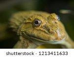 closeup frog  frog in the water  | Shutterstock . vector #1213411633