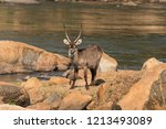 a waterbuck on rocks next to... | Shutterstock . vector #1213493089