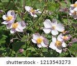 flowering autumn anemone ...   Shutterstock . vector #1213543273