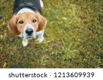 Stock photo top view of cute dog standing on green grass and looking right at camera high angle shot of brown 1213609939