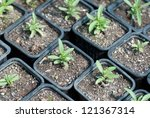 Pepper Seedlings in a row in the greenhouse - stock photo