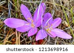 beautiful pink crocus closeup | Shutterstock . vector #1213698916