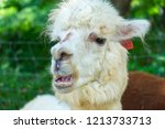 portrait of white alpaca  a... | Shutterstock . vector #1213733713