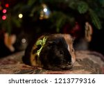 A Sweet Small Guinea Pig With...