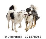 Stock photo border collie and australian shepherd playing with a rope against white background 121378063