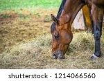 Stock photo closeup side view of beautiful brown horse eating grass and hay in meadow and green field in 1214066560