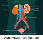 detailed excretory system. on... | Shutterstock .eps vector #1214088406