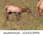 Elk Calf  Cervus Canadensis ...