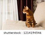 adult bengali cat sitting on... | Shutterstock . vector #1214194546