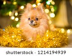 dog of the spitz breed of red... | Shutterstock . vector #1214194939