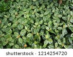 lush foliage of decorative... | Shutterstock . vector #1214254720