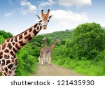 giraffes in kruger park south... | Shutterstock . vector #121435930