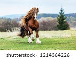 Portrait Of A Brown Stallion...