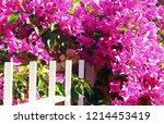 pink bougainvillea bush... | Shutterstock . vector #1214453419