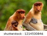 wild mother and baby proboscis... | Shutterstock . vector #1214530846