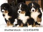 Bernese Mountain Dog Puppets...