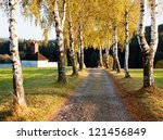 Alley Of Birch Trees And Way T...