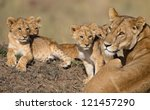 Lion Cubs  Babys  And Mama In...
