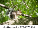 Grey Squirrel Sitting And...