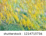 branches of weeping willow tree ...   Shutterstock . vector #1214715736