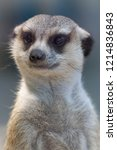 meerkat  suricata suricatta  is ...   Shutterstock . vector #1214836843