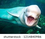 Friendly beluga whale