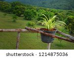 chlorophytum comosum  with... | Shutterstock . vector #1214875036
