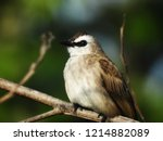 the bulbuls are a family ... | Shutterstock . vector #1214882089