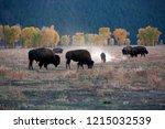 Herd Of Buffalo At Yellow Stone